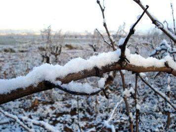 Cepas en invierno