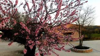 Almendro en flor y bodega